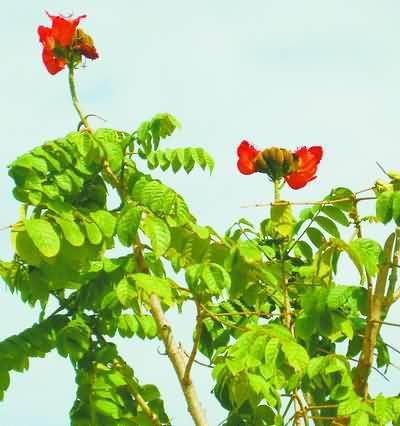 台湾火焰木迎冬笑开花