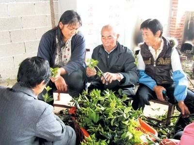 潘海洪/潘海洪(右二)向村民传授桂花扦插剪枝技术。刘军摄