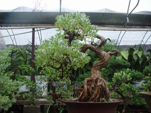 盆栽香艾图片图片 盆栽植物图片及名称,盆栽花卉图片及名称